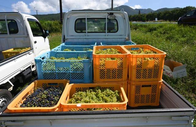 収穫した葡萄