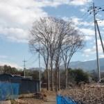 ケヤキの大木伐採
