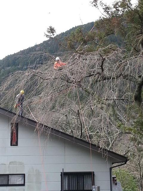 桜ツリーワーク