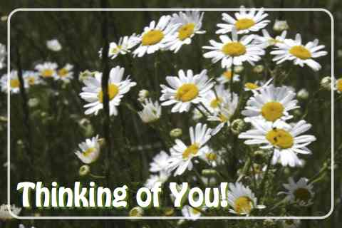 Thinking Of You Daisies Free Thinking Of You ECards