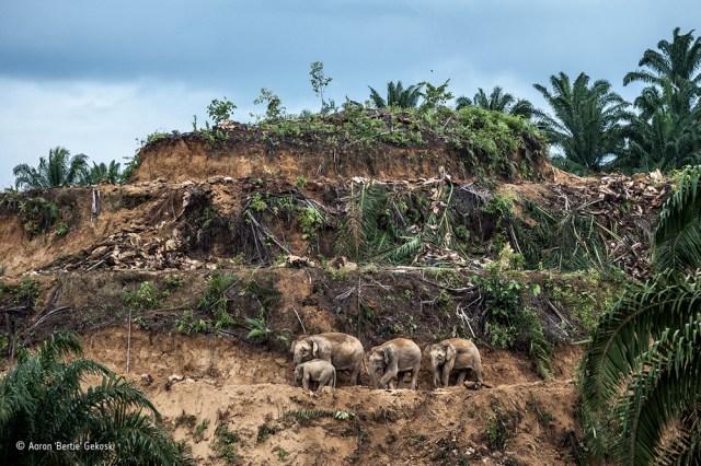 Palm Oil Survivors Aaron Gekoski Wildlife Photographer Of The
