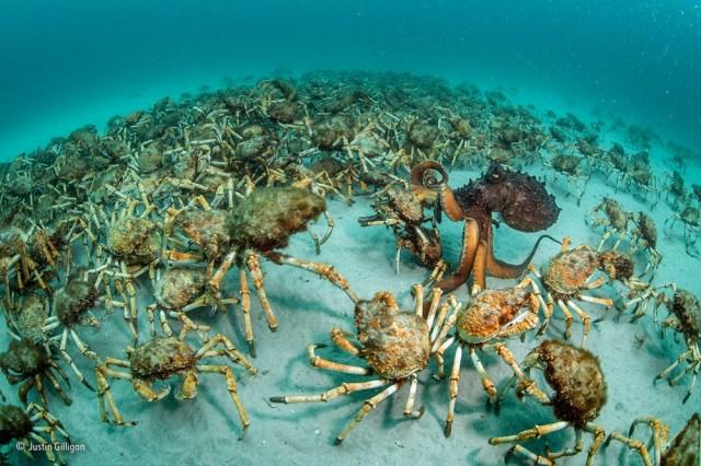 Crab Surprise Justin Gilligan Wildlife Photographer Of The