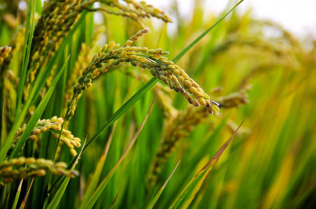 Permalink to Se ha conseguido obtener arroz clonado gracias a CRISPR, y eso puede preparar el camino para revolucionar la agricultura
