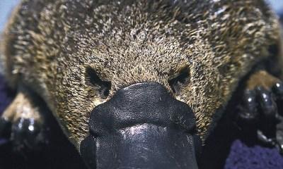 Por si ya no era suficientemente raro, se descubre otra característica sorprendente del ornitorrinco: su piel es fluorescente