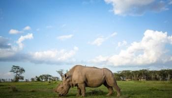 Cómo la muerte del último macho de rinoceronte blanco los ha convertido en la gran apuesta para traer de vuelta animales extintos