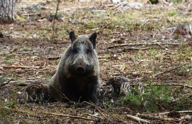 Mother Sow Wild Boar Hog Wild Swine Striped 1729971