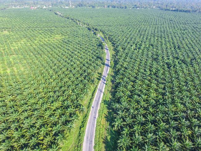 plantacion-aceite-palma