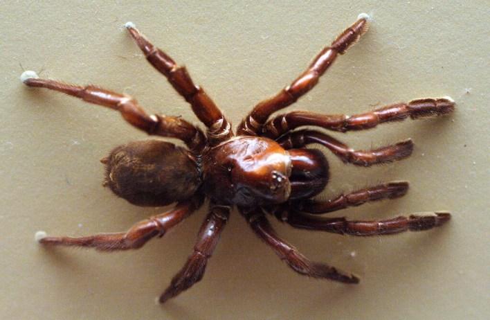 Número 16: la araña australiana que vivió casi medio siglo y fue asesinada a traición por una avispa