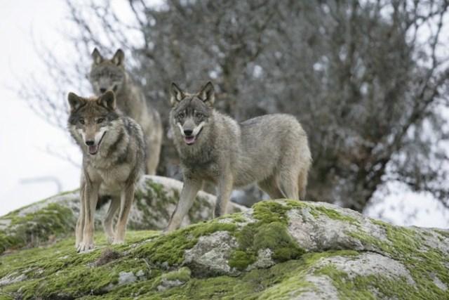 Lobos Ibericos