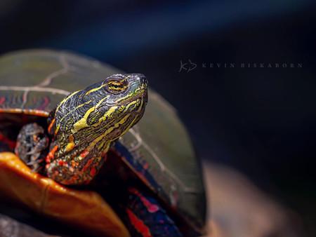 Kevin Biskaborn Painted Turtle
