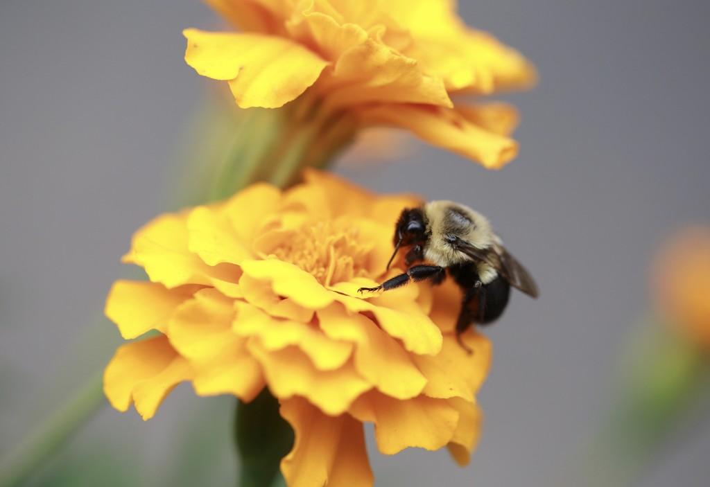 Las plantas no tienen oídos, pero hay indicios de que oyen cuando se acerca un insecto polinizador