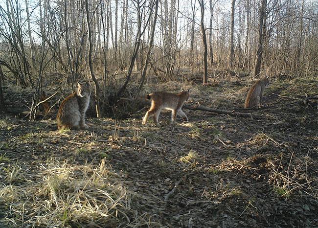 Chernóbil: Paraíso de animales radioactivos