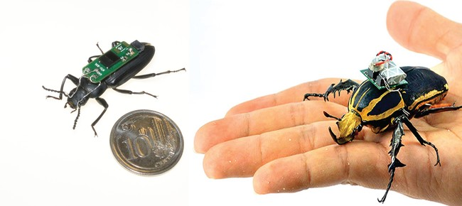 Cyborg Beetles Developed Based On Zophobas Morio Left And Mecynorrhina Torquata Right