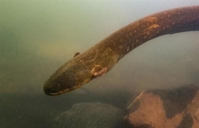 El récord de descarga eléctrica animal corresponde ahora a esta nueva especie de anguila recién identificada