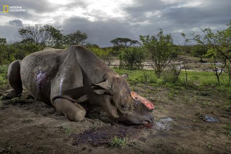 Rhino Horn Poacher