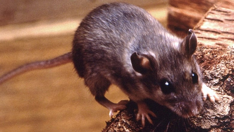 How to avoid rare, but potentially deadly, rodent hantavirus in ...