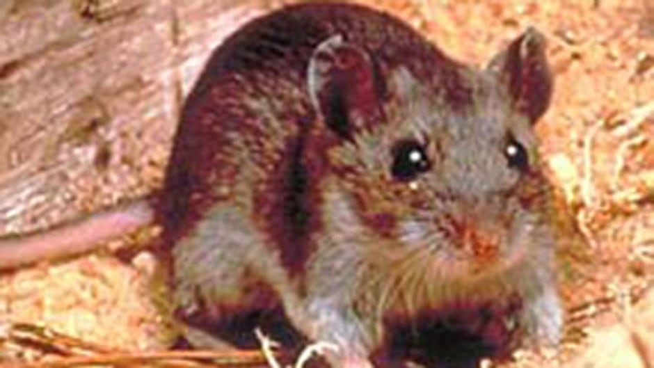 Hantavirus death reported in Manitoba | CBC News