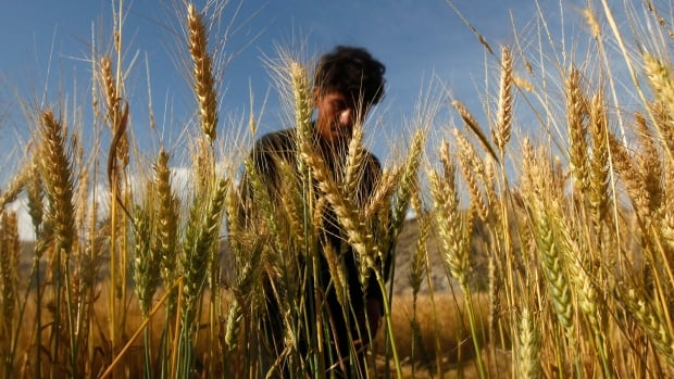 Iron and zinc levels were found to be much lower in some vital crops grown under future carbon dioxide scenarios, according to new study led by the Harvard University School of Public Health.