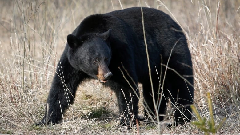 'It's ridiculous': B.C. tour operator fined K for baiting black bears for customers to view