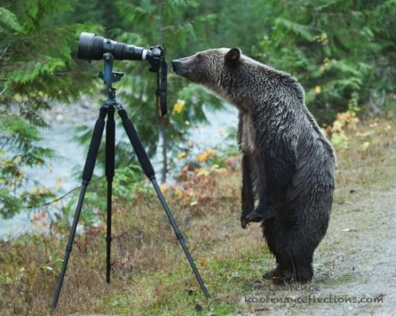 grizzly using camera