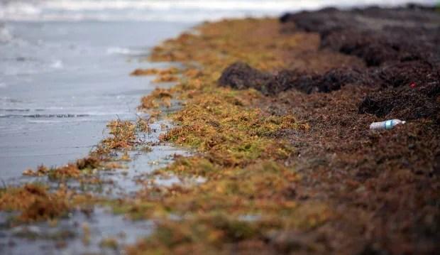 Puerto Rico Caribbean Seaweed Invasion