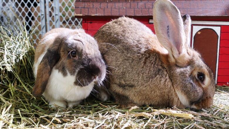 Sick Easter bunnies prompt vet warning  CBC News