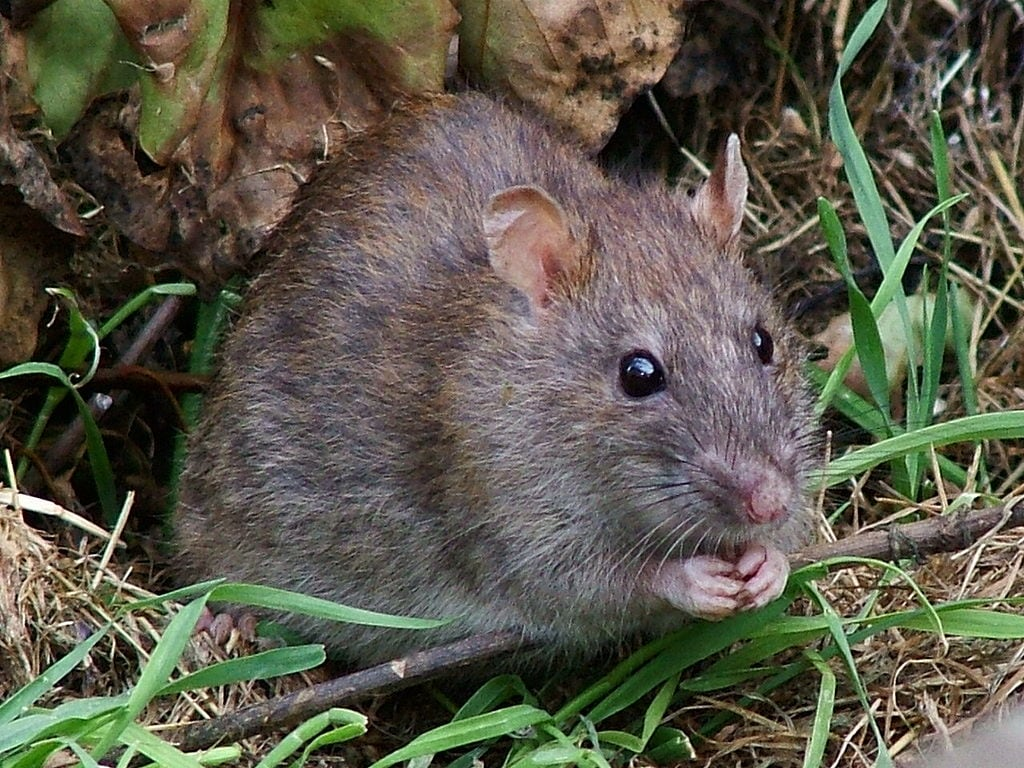 Rare rat virus infects 8 people in U.S. | CBC News