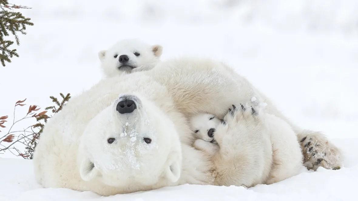Cute Polar Bear Cubs Wallpaper Polar Bear Pics Win Prize Headed To Smithsonian