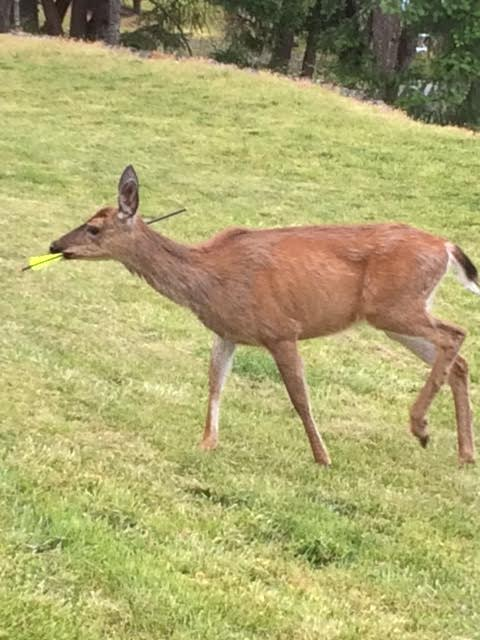How Long Deer Pregnant : pregnant, Pregnant, Vancouver, Island, Crossbow