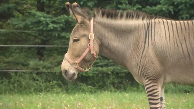 Nova Scotias famed rescued zonkey has a new striped pal