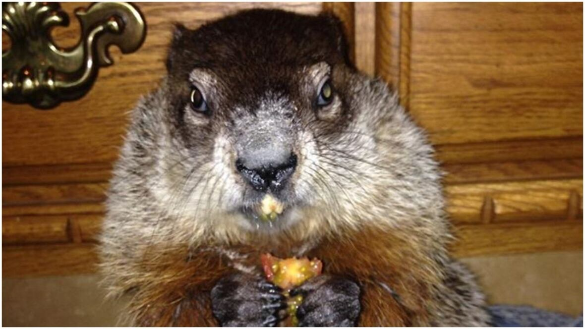 Grouchy groundhog emerges from sock drawer to make Sask