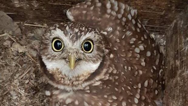 Nearly 100 Juvenile Burrowing Owls Take First Steps Into