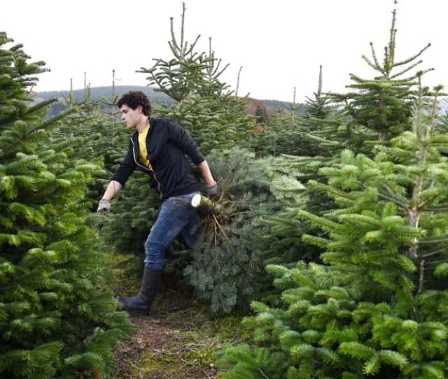 Real Versus Fake Christmas Trees Which Ones Greener