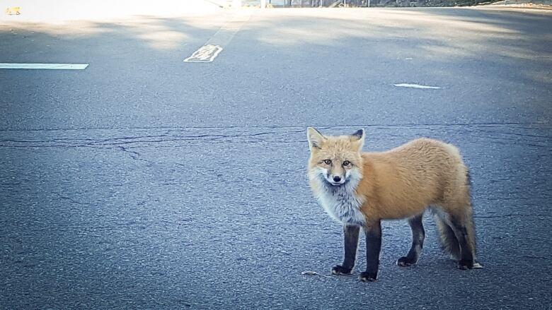 Feeding wildlife leads to leghold traps, death for Nova Scotia foxes