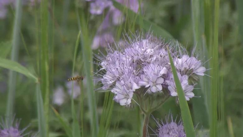 P.E.I. potato farmers plant flower-filled 'refuge fields' for pollinators 4