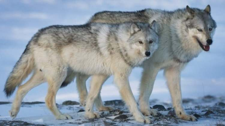 POLL: Should the use of strychnine for killing wolves be banned?