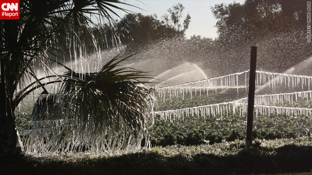 Icicles hang from plants on a Florida farm being irrigated to protect the crop from freeze damage.