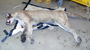 Officials say the mountain lion is likely the same one that was seen this week in nearby Greenwich.