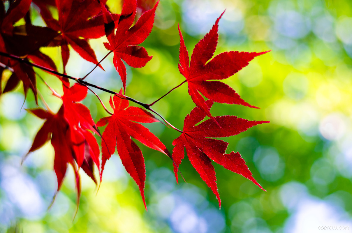 Fall Leaves Live Wallpaper Iphone Japanese Maple Leaf Wallpaper Download Japanese Maple