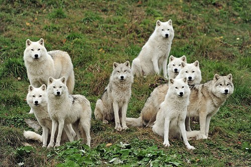 wolf pack daily squee