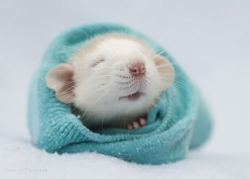 daily squee rat 245