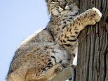 FILE - In this April 16, 2012, file photo, a small, likely juvenile, bobcat is perched on a power pole in a residential neighborhood of Victorville, Calif. Bobcat numbers have almost tripled nationwide since the 1980s to as many as 3.6 million, according to a 2010 study in the Journal of Fish and Wildlife Management, the most recent national survey. (James Quigg/The Daily Press via AP, File)