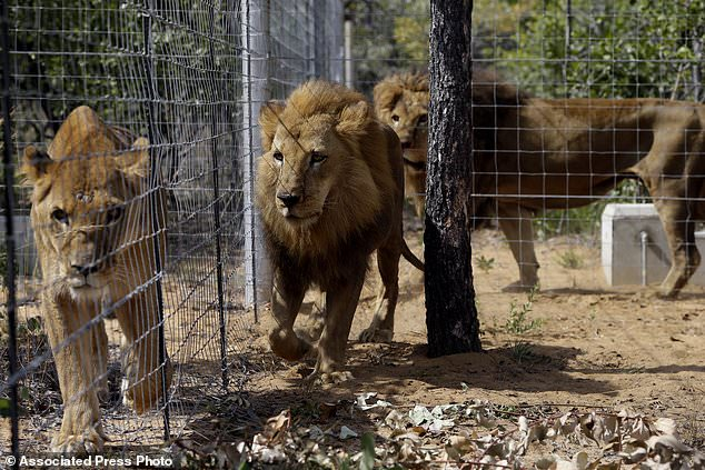FILE -- In this Sunday, May 1, 2016 file photo, former circus lions inside an enclosure at Emoya Big Cat Sanctuary in Vaalwater, South Africa, after 33 rescued lions from various circuses in Peru and Colombia were relocated to live out the rest of their lives in the private sanctuary. Conservationists say poachers have killed two of the 33 lions that were in the sanctuary north of Johannesburg, it was reported Sunday, June 4, 2017. (AP Photo/Themba Hadebe, File)