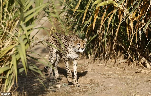 Iranian-Canadian environmentalist Kavous Seyed Emami, who authorities say died in prison, headed the Persian Wildlife Heritage Foundation which worked to preserve rare species like the Asiatic Cheetah