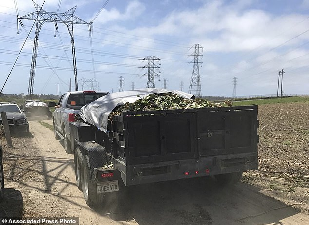 Trailer loads of Opium Poppies are hauled away after an eradication in Moss Landing, California