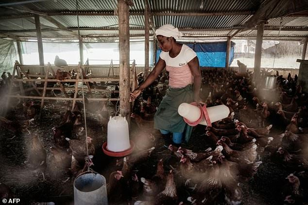 A farm worker feeds chickens at Sangill Ventures -- the farm is betting on diversified products
