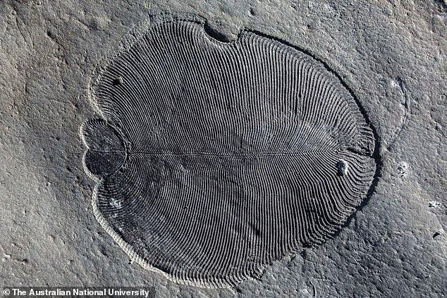 The strange, relatively flat organism lived 20 million years before the 'Cambrian explosion' of animal life. Scientists have described the discovery of the fossil, which looks like a cross between a leaf and a thumb print, as the 'Holy Grail' of palaeontology