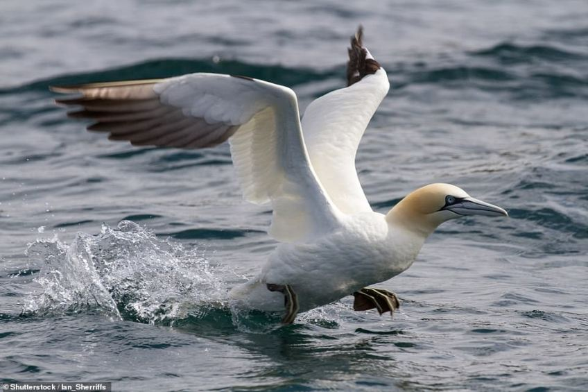 Top tip: Lizzie reminded tourists thatgannets (pictured above) leave Grassholm Island at the end of September