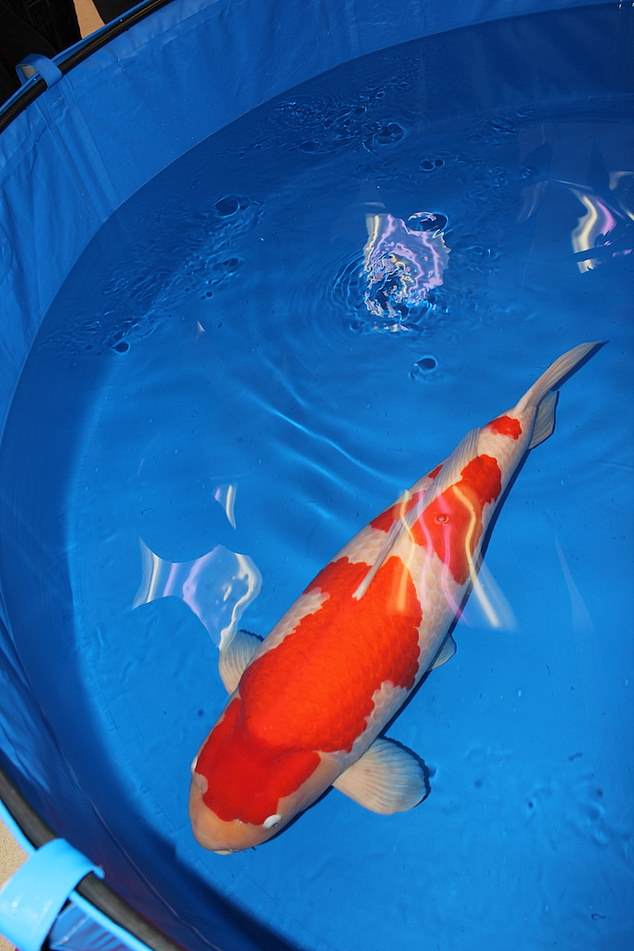 Biggest Koi Fish : biggest, World's, Expensive, Bought, £1.4, Million, Previous, World, Record, Daily, Online