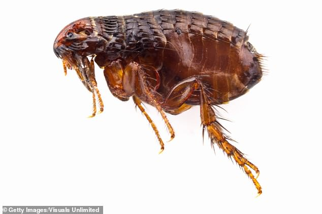 Flea-borne typhus occurs when faeces from an infected insect come into contact with a person's cut or gets rubbed into their eyes.The insects often live on feral cats and rats (stock)